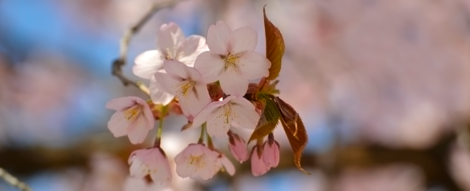 A branch of pink cherry blossoms and buds.